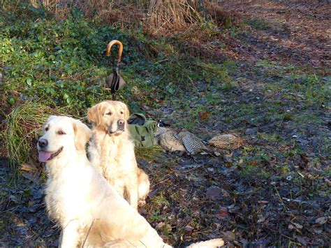 seasons gold golden retrievers our goldens during the shooting season