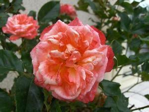 fiori in inglese alti inglese fiori giardino russelmobley