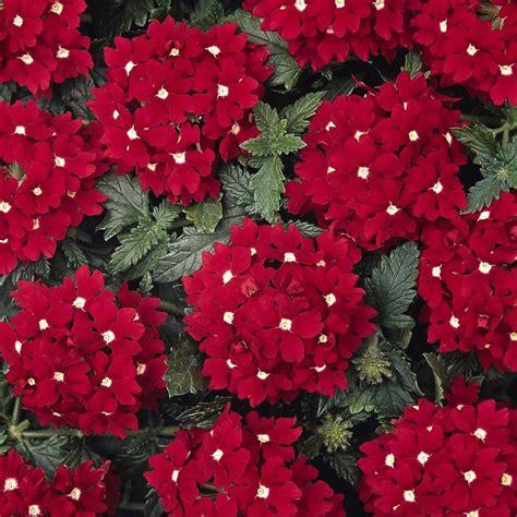partial sun flowers perennials verbena aztec red velvet