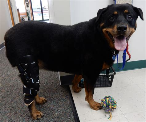 braces for dogs my pet s brace provides its 1000th patient with a canine leg brace prosthetic limb