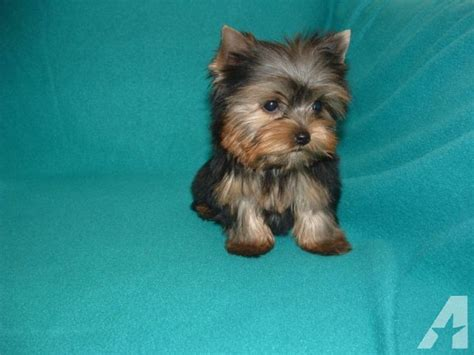 boy teacup yorkie names cutest teacup yorkie boy roc for sale in houston classified americanlisted