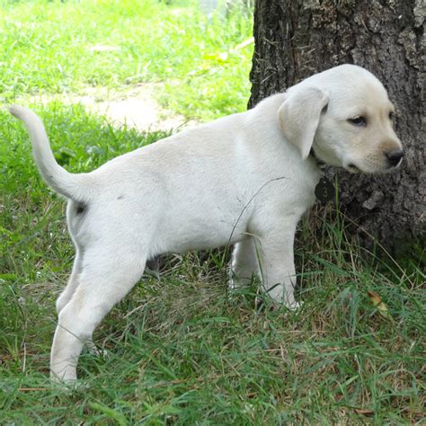 yellow lab puppies for sale in va yellow lab puppies for sale