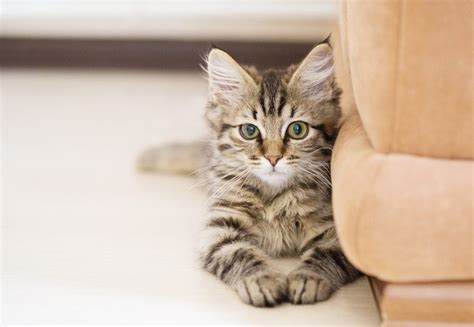 10 Hypoallergenic Cats For Those With Bad Allergies
