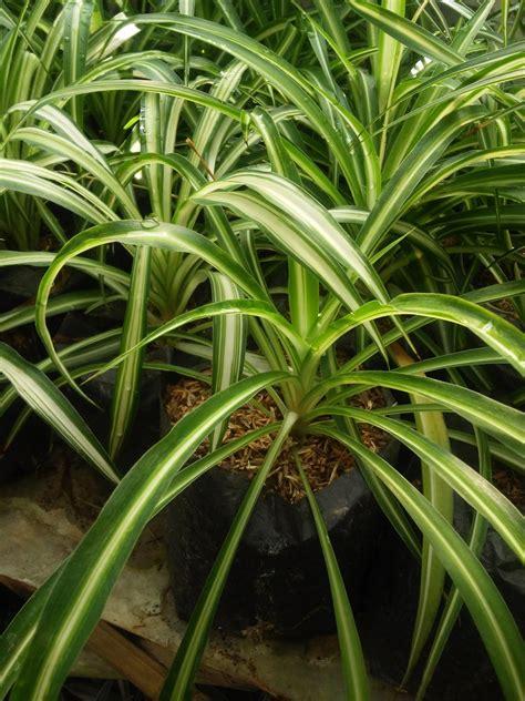 gambar  jenis tanaman hias tahan panas matahari lili