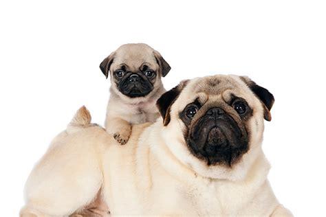 pug adults pug puppies animal stock photos kimballstock