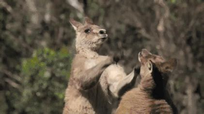 fighting kangaroos gifs find & share on giphy