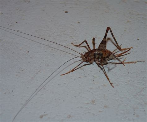 basement crickets those crickets in your basement they probably came from asia