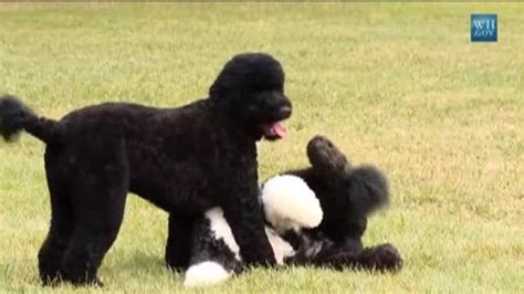 white house dog sunny raw white house unveils new obama dog one news page us video
