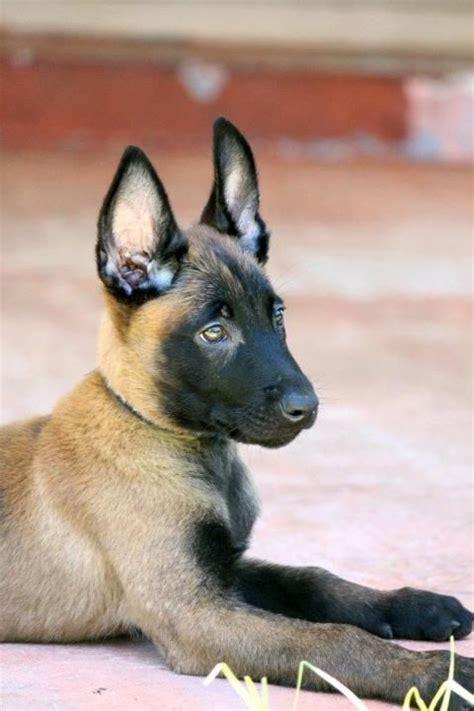 belgian malinois puppies florida 25 best ideas about malinois shepherd on german malinois belgian