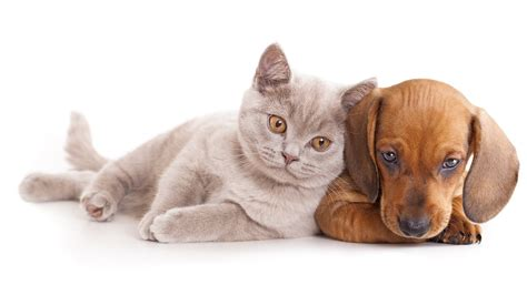 wallpaper cat and dog hd free cute dog and cat wallpaper hd