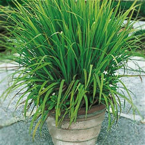 citronella grass cymbopogon nardus for sale fast growing trees com