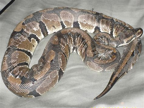 Snake Not Shedding by Tser S Hoard A Post About Hydration And Shedding