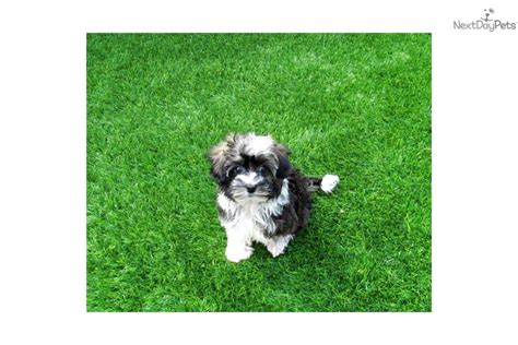 tiny havanese meet miss a havanese puppy for sale for 1 495 tiny havanese akc