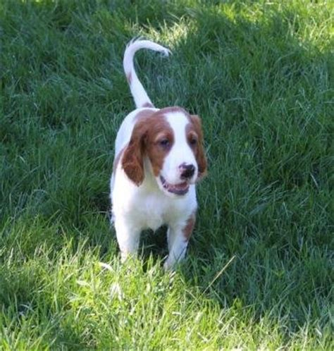 irish setter gun dogs for sale laurel oak irish red and white setters irish red and