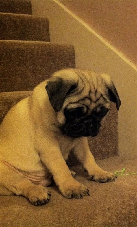 pug stairs 975 best pugs being adorable images on