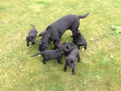 black puppies for sale black labrador puppies for sale skegness lincolnshire pets4homes