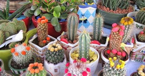 merawat kaktus hias  tepat