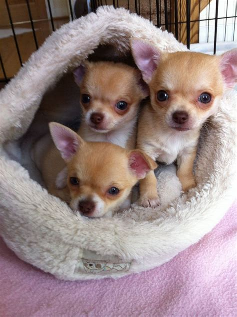 chihuahua for sale 3 precious kc reg chihuahua puppies for sale wigan greater manchester pets4homes