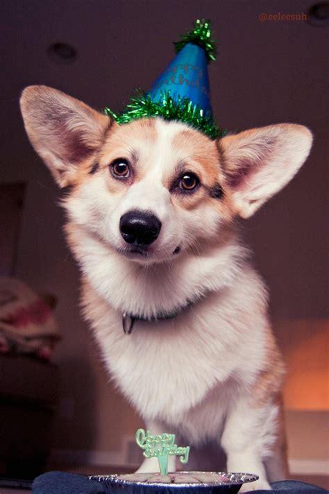 Corgi Birthday Meme - 95 best images about corgis in party hats on pinterest