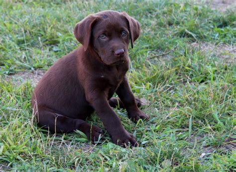 chocolate lab puppies for sale in illinois chocolate labrador retriever puppies illinois dogs our friends photo