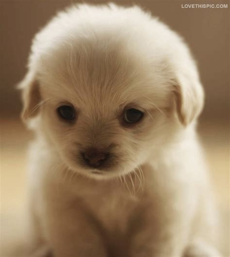 fluffy puppys fluffy puppy pictures photos and images for and