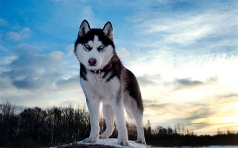 wallpaper husky husky wallpapers high resolution and quality download