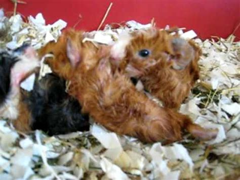 baby guinea pigs 1 hour old youtube