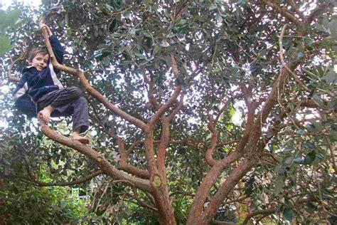 Permalink to shade plants hedge – Acacia cognata Lime Magik