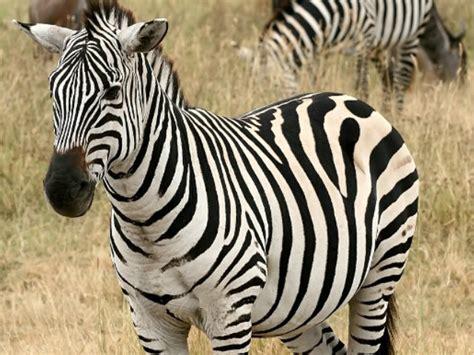 Imagenes De Animales Cebra   cebras rayas animalesmascotas