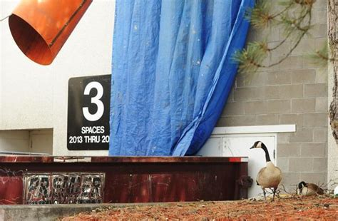larger geese populations in denver area ruffle feathers