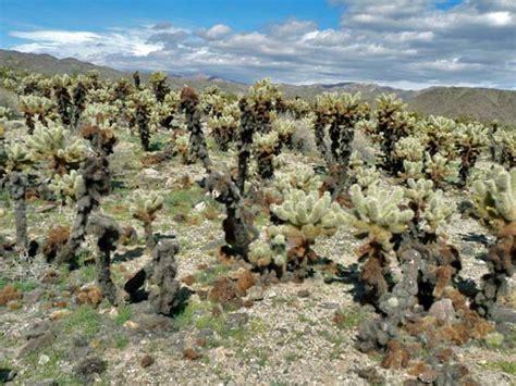 Cholla Cactus Garden by Protrails Cholla Cactus Garden Cholla Cactus Garden