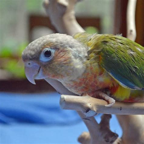 green cheek conure 121954 for sale in smithfield nc