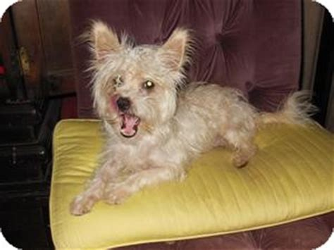 yorkie rescue san diego ca adopted san diego ca yorkie terrier poodle miniature mix