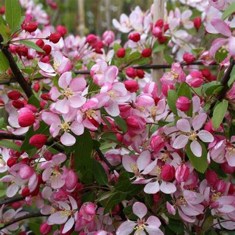 Wedding Bouquet Crabapple Tree by Crab Apple Trees For Sale Malus Mail Order Trees