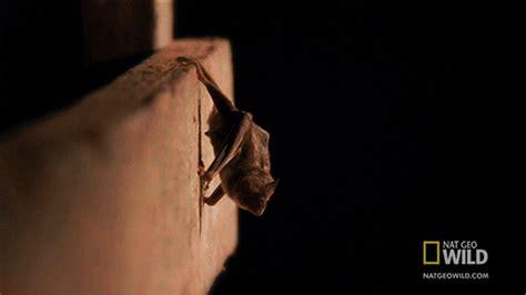 animals cute adorable Bat bats vampire bat i made gif ...