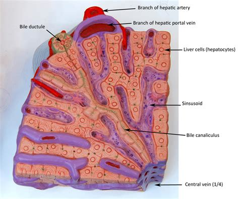 sections of the liver liver lobule model labeled google search anatomy