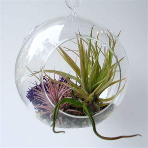hanging air plant hanging terrarium with air plants grounded modern living
