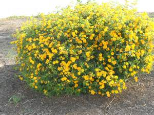 yellow flower bush landscape pinterest