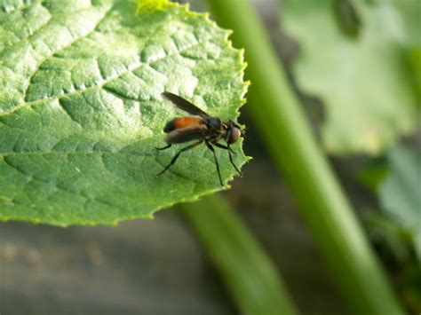 backyard pests controlling squash bug infestations in your garden