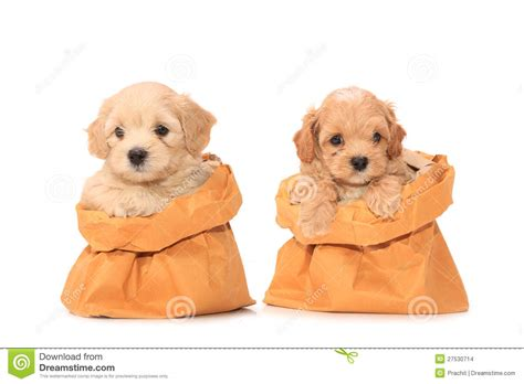 puppy in a purse poodle puppies in bag stock images image 27530714
