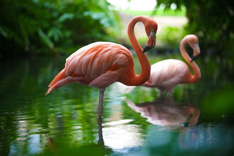 wallpaper flamingo hd flamingo wallpapers high quality download free