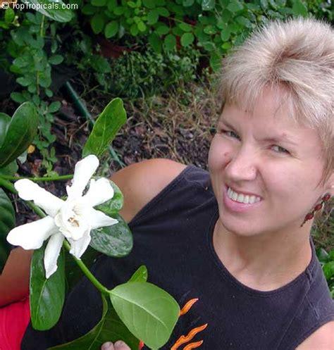 Sale Pm Gumpaste Bunga Natal Pmbntl gardenia taitensis heaven scent tahiti gardenia toptropicals