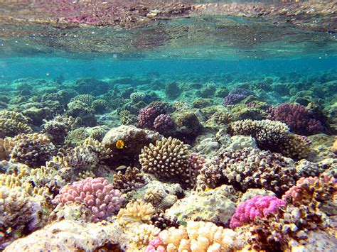 Batu Gambar Koral Otak Brain Coral godong jati karimunjawa