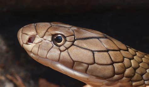 king cobra images king cobra snakes facts pictures habitat information