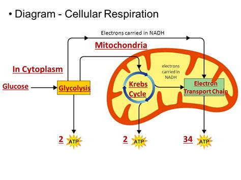 simple diagram of mitochondria photosynthesis respiration ppt