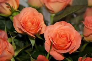 salmon colored roses color me pink page 2 seniorsonly club