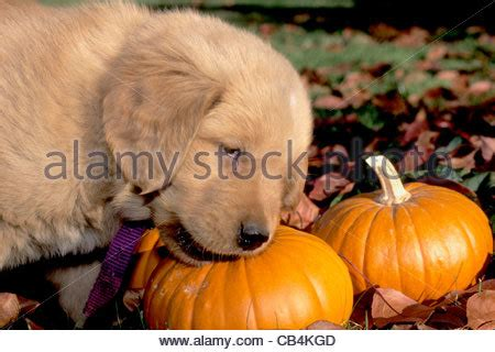 golden retriever puppy chewing seven week golden retriever puppy does not like his new leash stock photo royalty