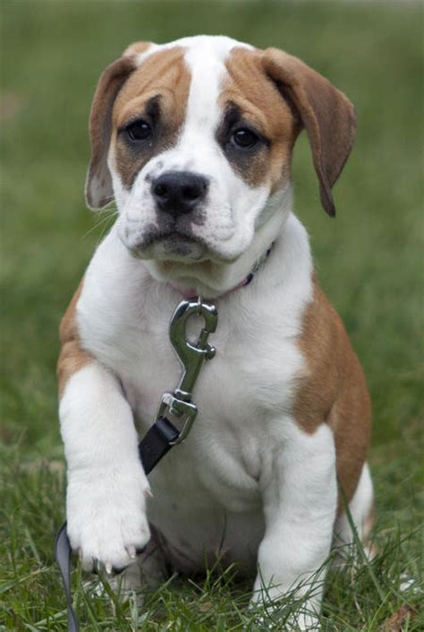 bulldog mix puppies beagle bulldog mix puppies www imgkid the image kid has it
