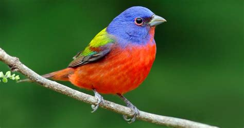 painted bunting identification all about birds cornell