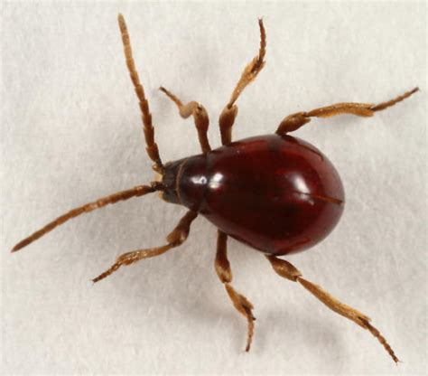 bugs mistaken for bed bugs don t be fooled here are the most commonly mistaken bugs